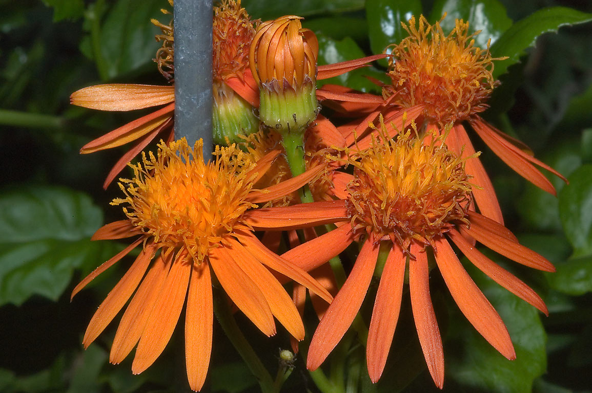 Mexican flame vine (Senecio confusus...M University. College Station, Texas