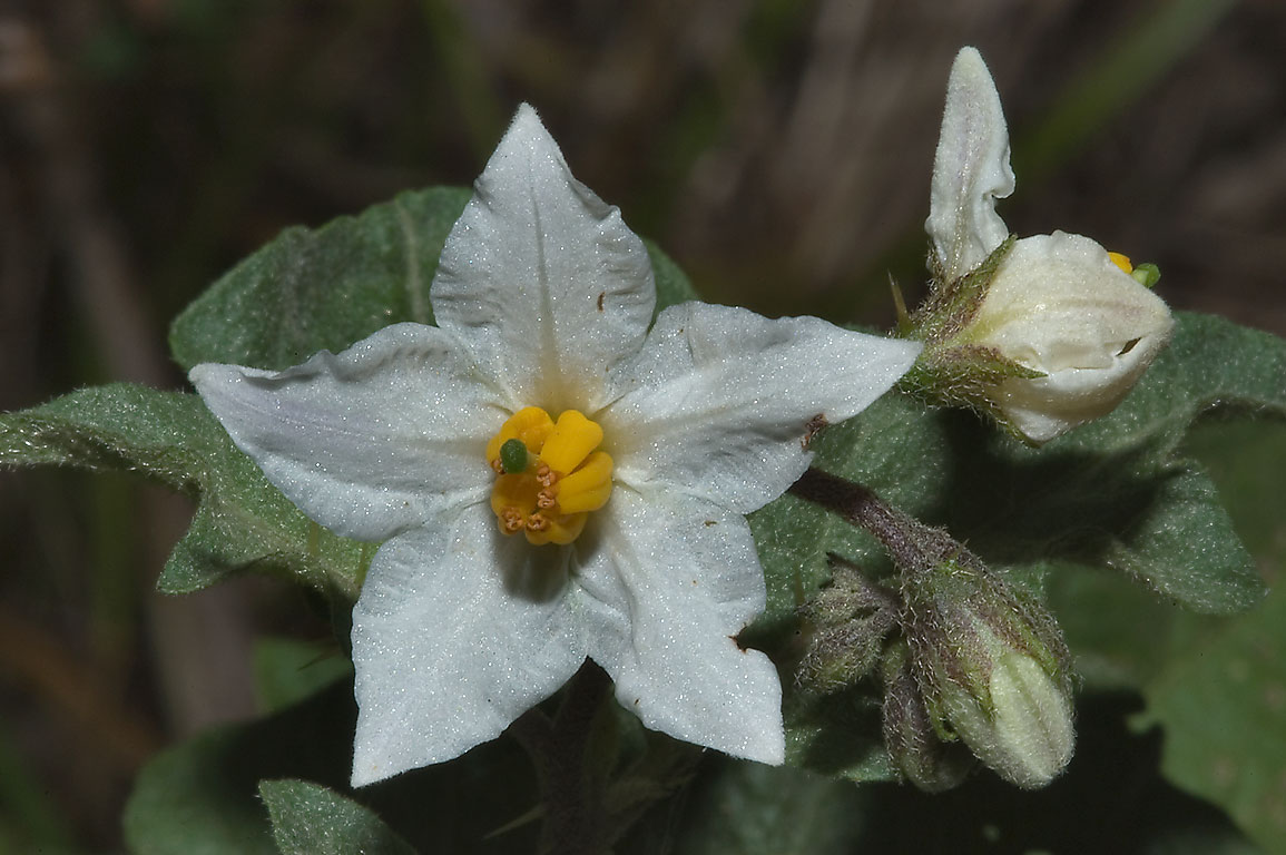 Potato-weed (western horse nettle, Solanum...Deer Run Trail. College Station, Texas
