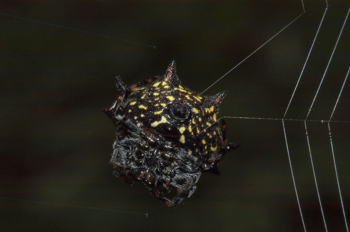 Disk-shaped abdomen of crab spider (crablike...Bridge Trail. College Station, Texas