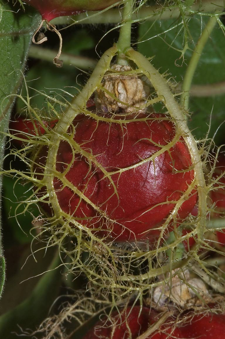 Fruit of passion flower passiflora foetida in...M University. College Station, Texas