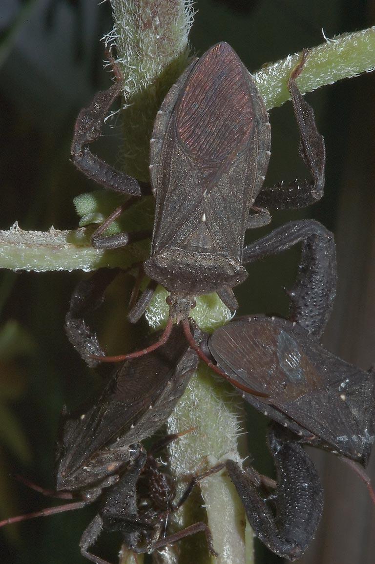 Leaf-footed bugs (Coreidae) Acanthocephala...M University. College Station, Texas