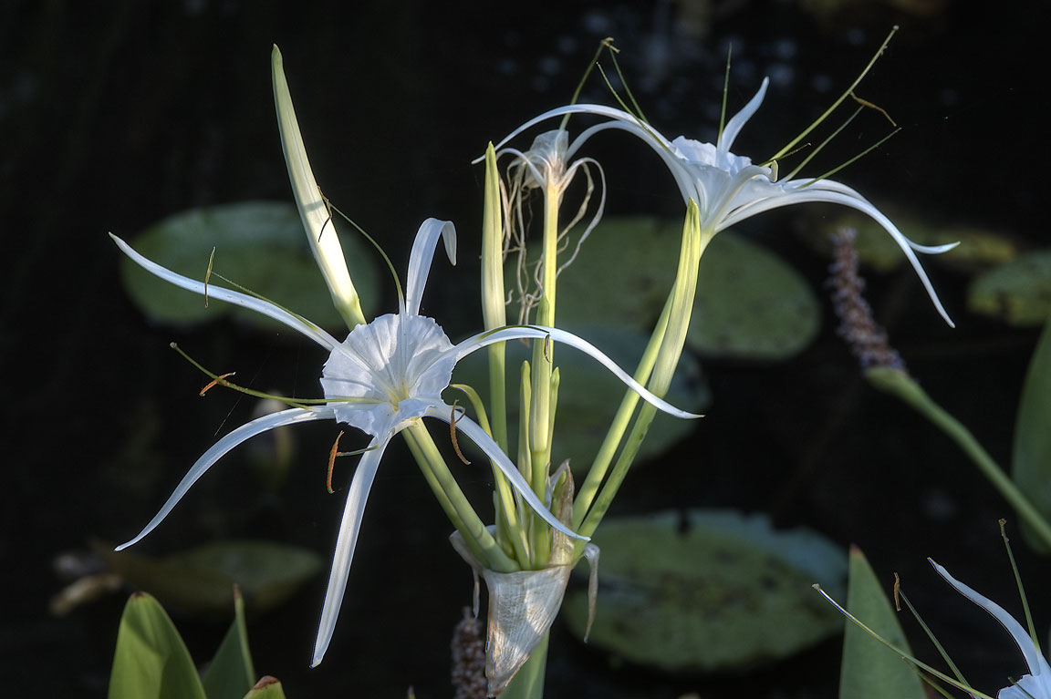Spider lily (Hymenocallis liriosme) in TAMU...M University. College Station, Texas