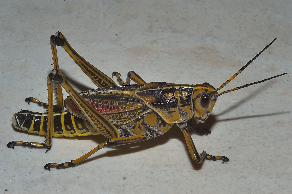 Big grasshopper with white background. College Station, Texas