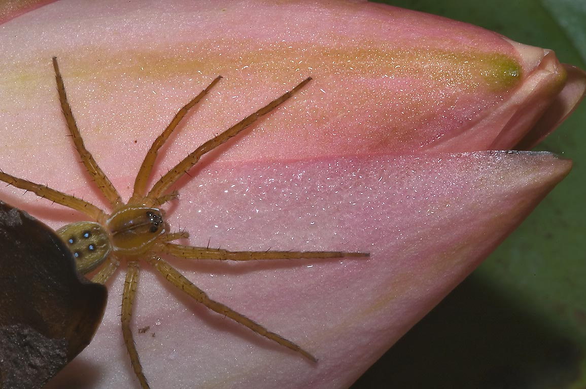 Spider on water lily in TAMU Horticultural...M University. College Station, Texas