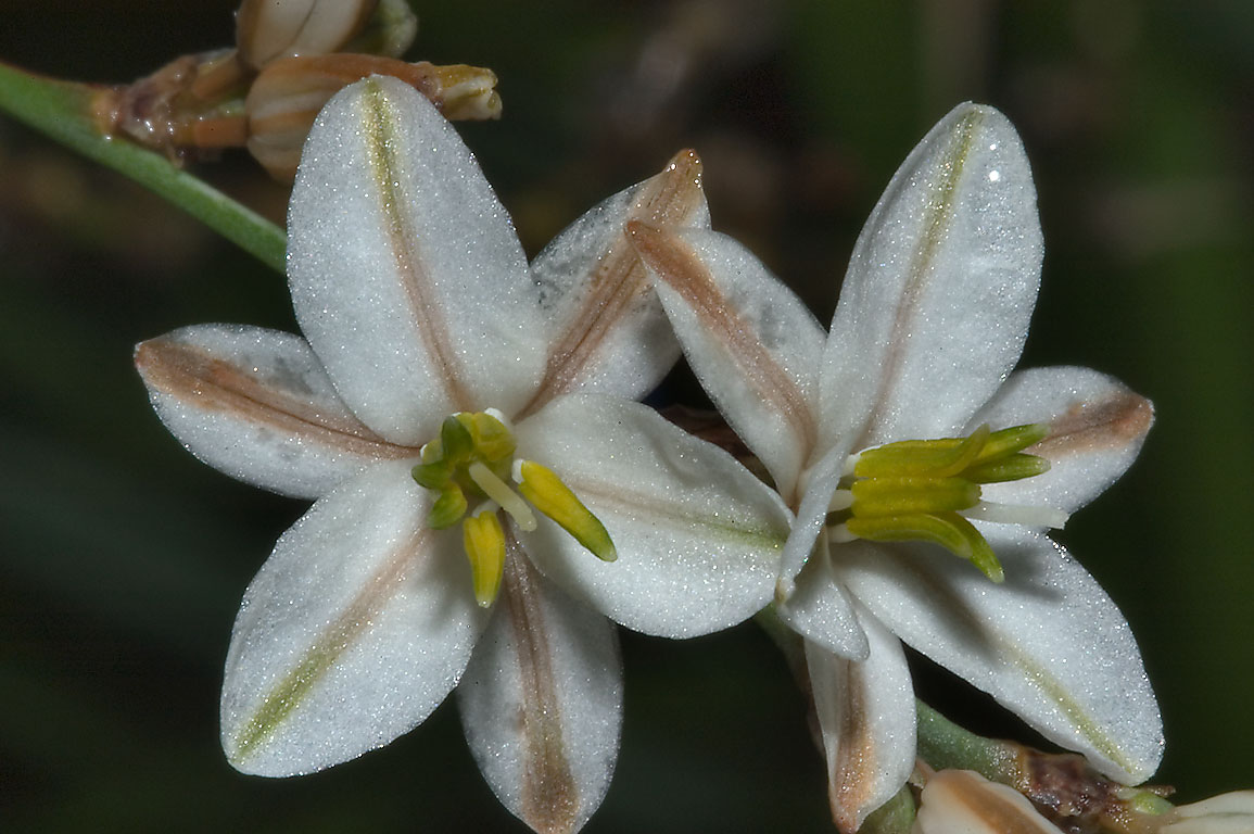 Asphodel flower - search in pictures
