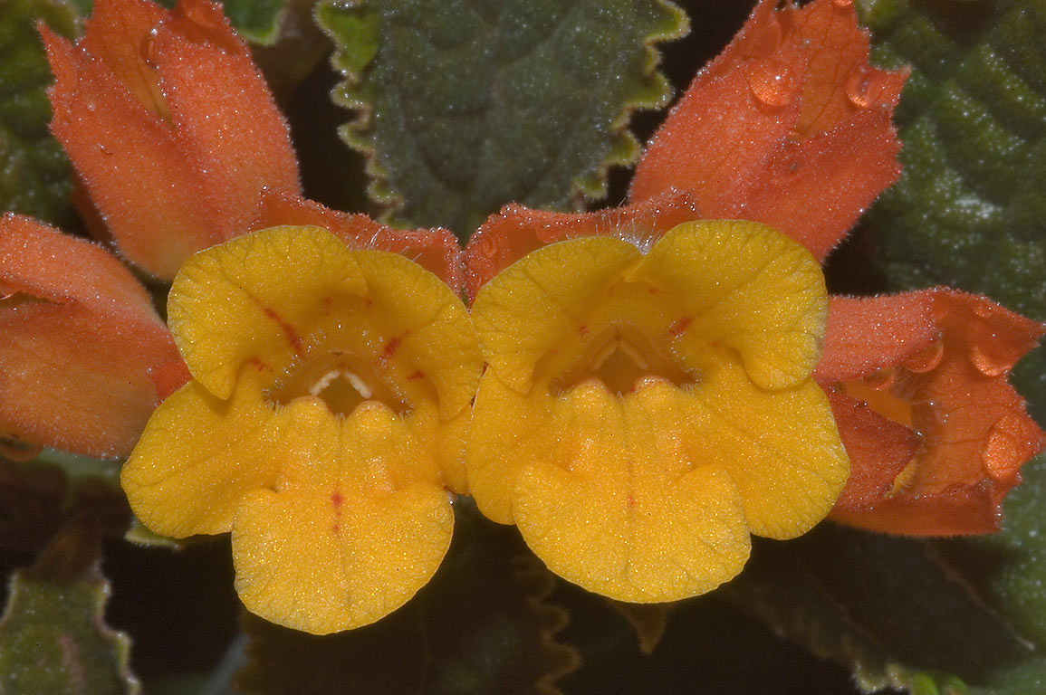 Orange flowers of Chrysothemis pulchella (Black...M University. College Station, Texas