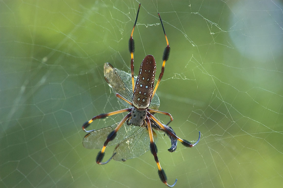 Golden silk spider (Nephila clavipes) eating a...Bend State Park. Needville, Texas