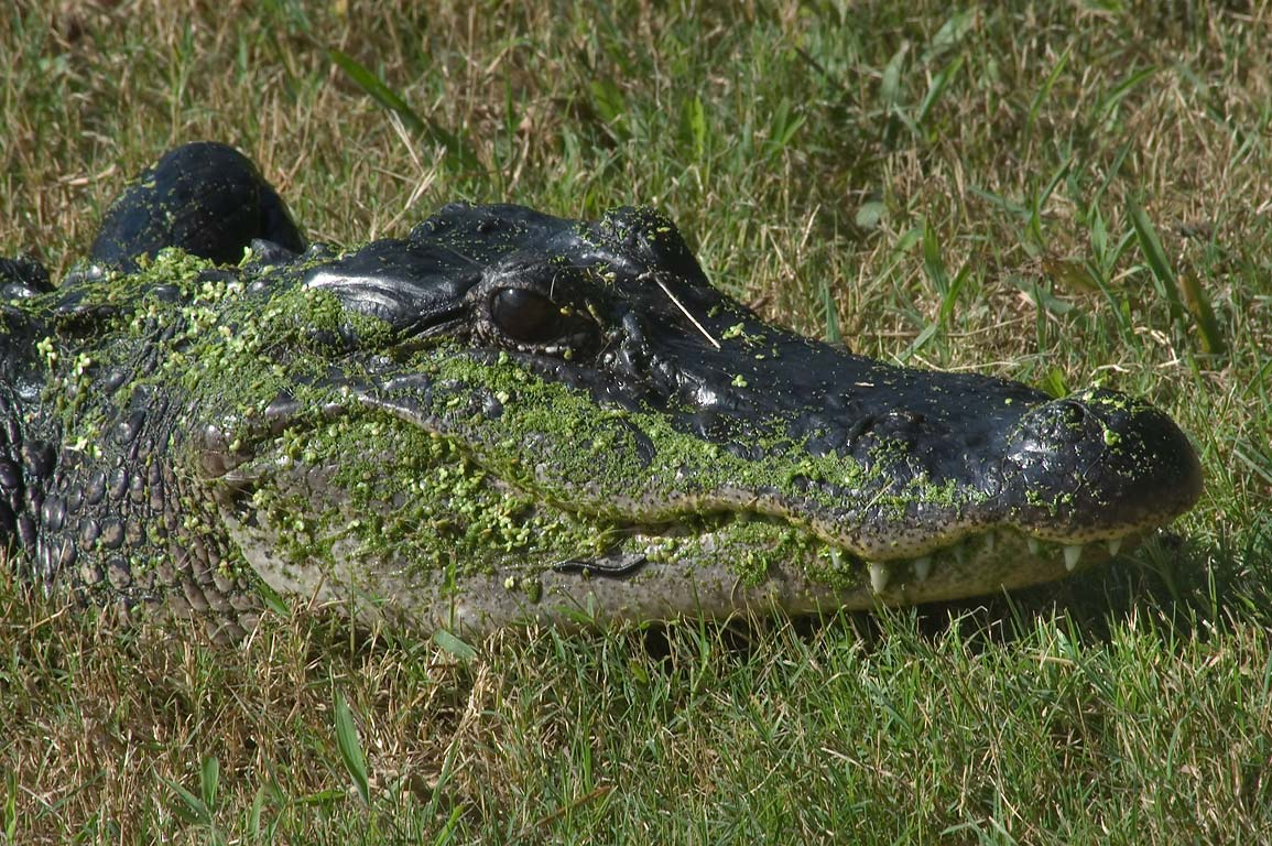 Alligator with parasite worms on west shore of...Bend State Park. Needville, Texas