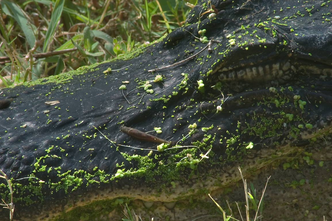 Leeches on alligator's head on west shore of Elm...Bend State Park. Needville, Texas