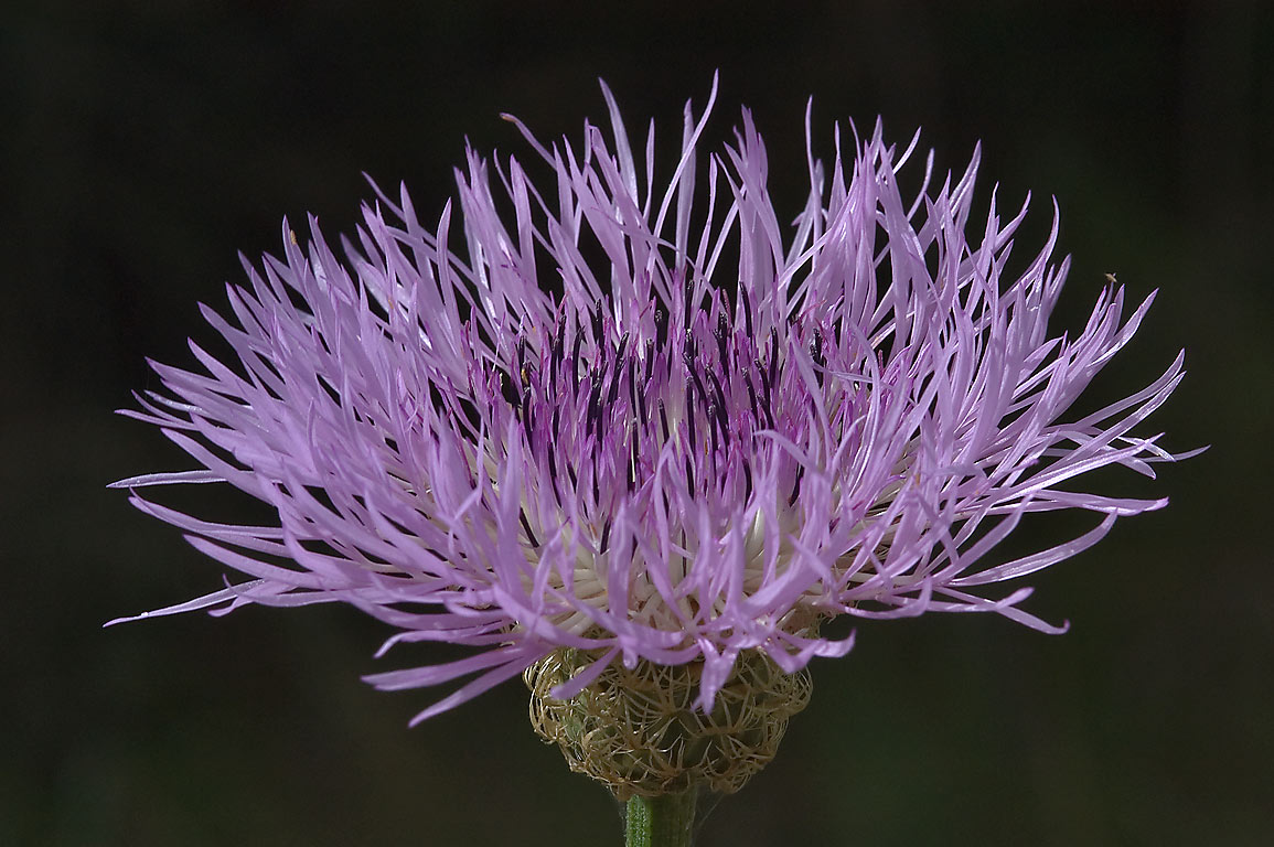 American basket flower (Centaurea americana) on...Bend State Park. Needville, Texas