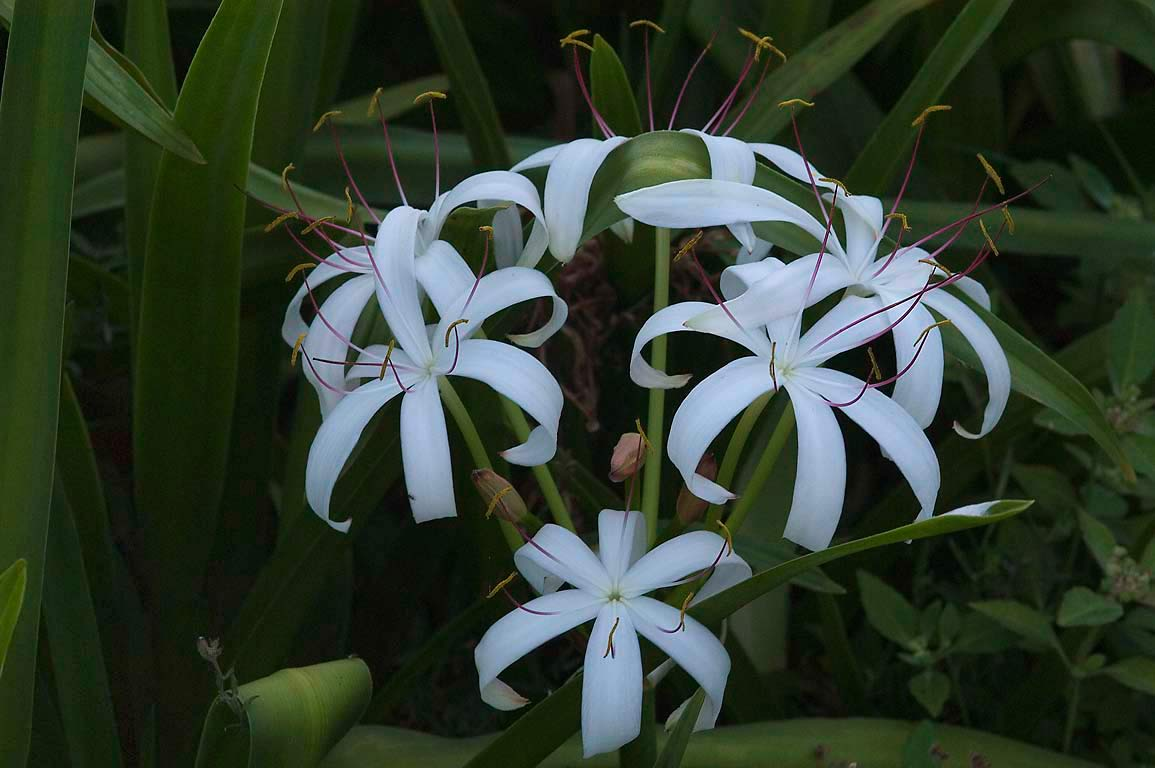 Southern swamp lily (Crinum americanum) in TAMU...like leaves. College Station, Texas