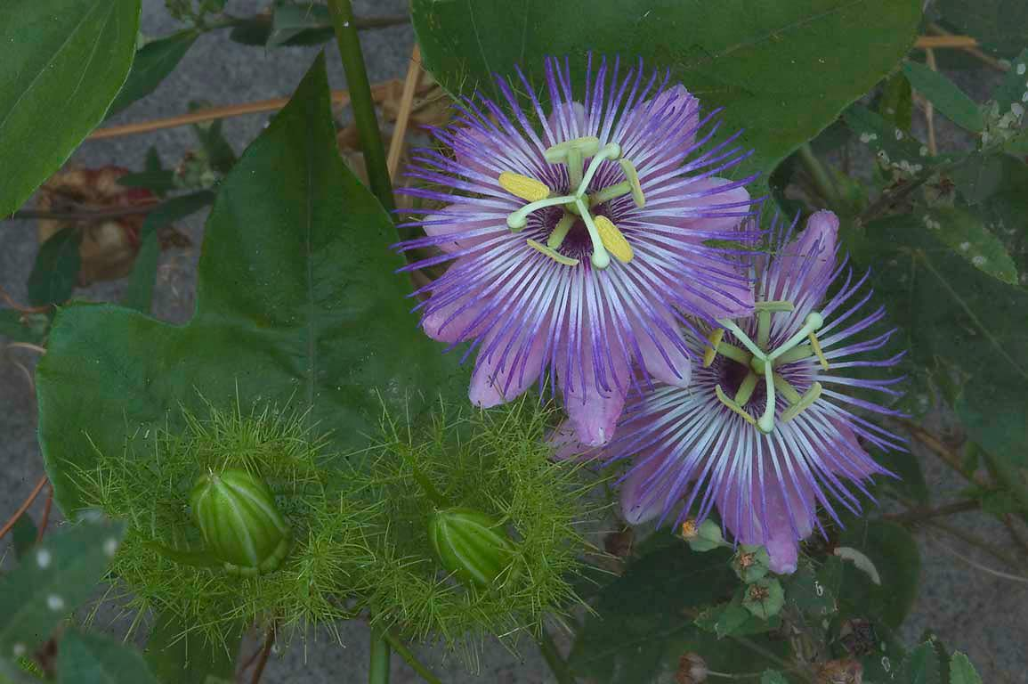Passiflora foetida (passion flowers) in TAMU...M University. College Station, Texas