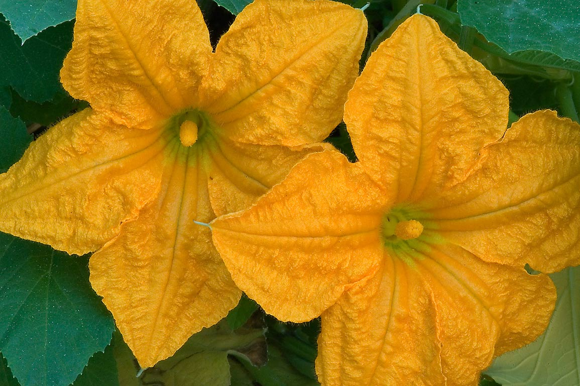Yellow flowers of gourd in TAMU Horticultural...M University. College Station, Texas