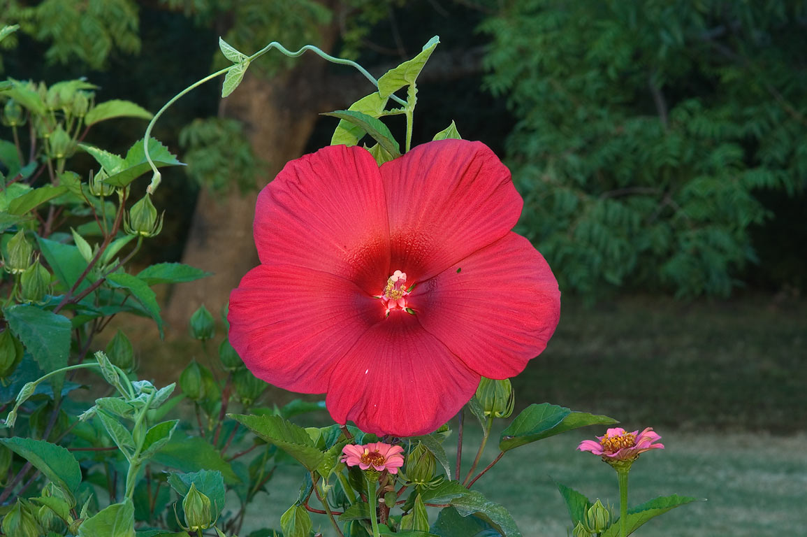 Red mallow hibiscus in TAMU Horticultural Gardens...M University. College Station, Texas