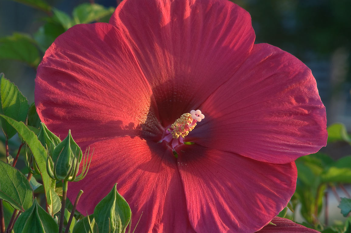 Red mallow hibiscus at sunrise in TAMU...M University. College Station, Texas