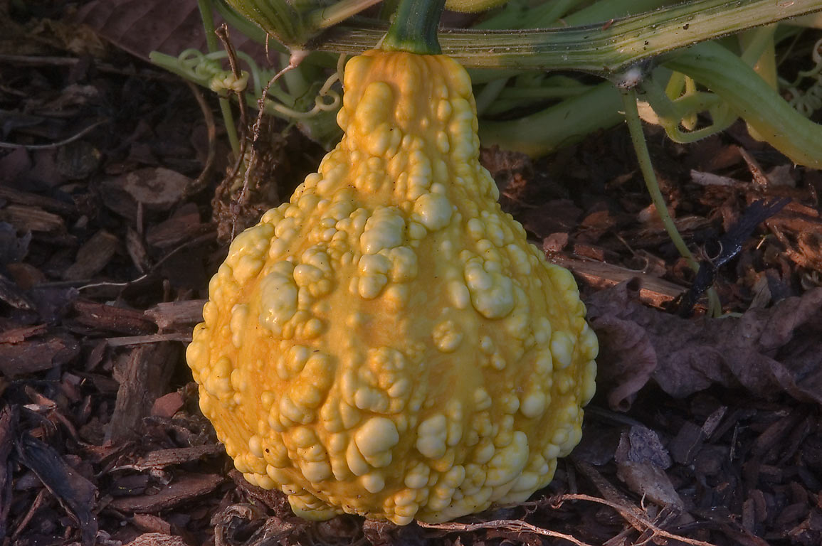 Ornamental pumpkin in TAMU Horticultural Gardens...M University. College Station, Texas