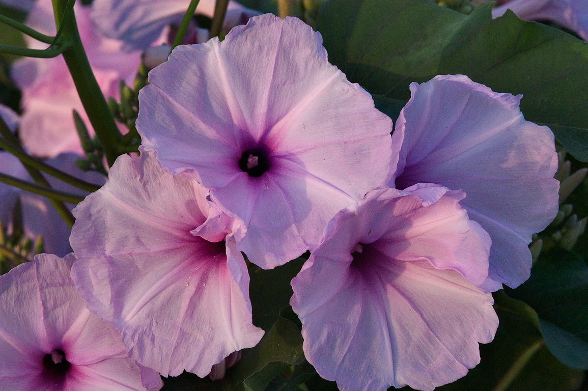 Bush Morning Glory (Ipomoea carnea, pink form) in...M University. College Station, Texas