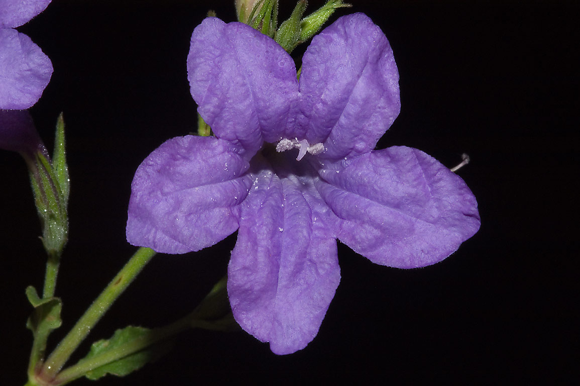 Violet ruella (Ruellia nudiflora) flower in...State Historic Site. Washington, Texas