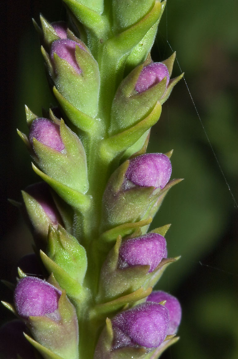 Flower buds of obedient plant (Physostegia...M University. College Station, Texas