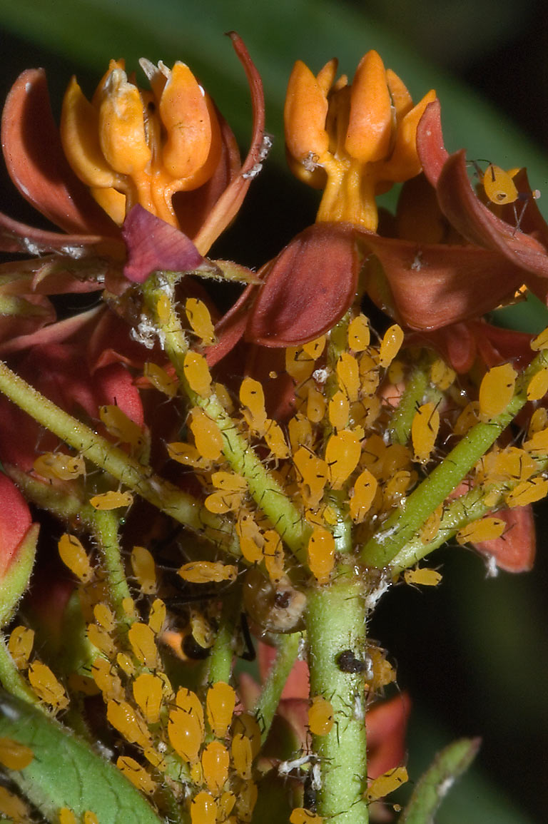 Aphids on red milkweed in TAMU Holistic Garden in...M University. College Station, Texas