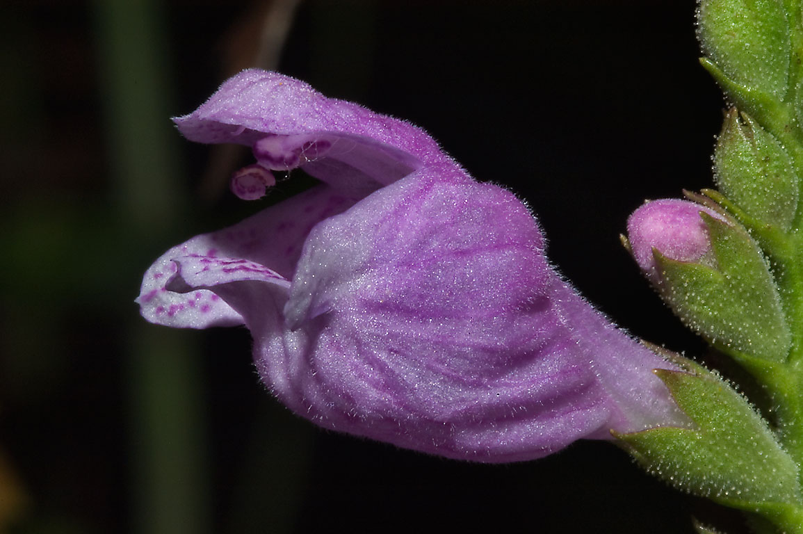 Flower of obedient plant (Physostegia virginiana...M University. College Station, Texas