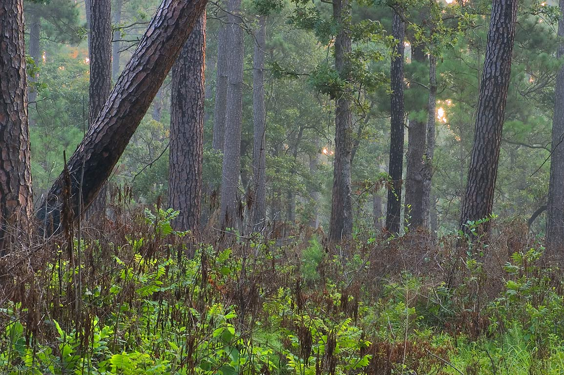 Pine trees in mist from Little Lake Creek Loop...National Forest. Richards, Texas