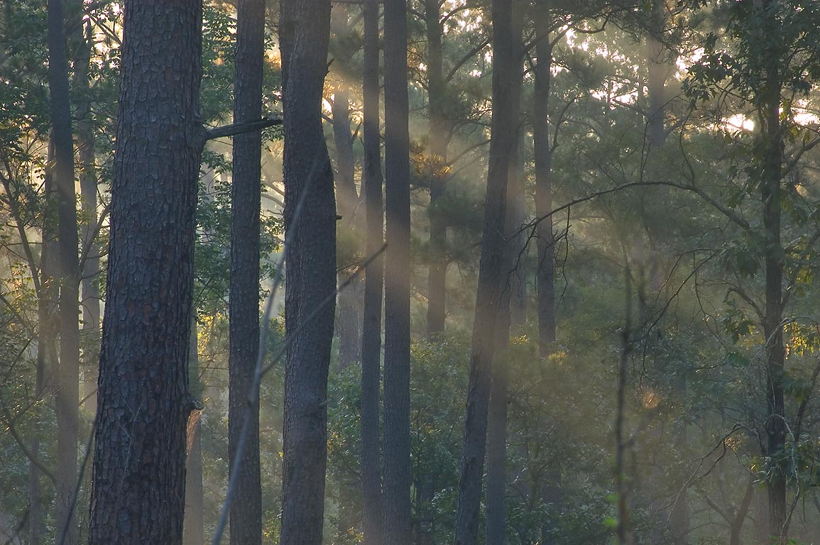 Misty sunrise from Little Lake Creek Loop Trail...National Forest. Richards, Texas