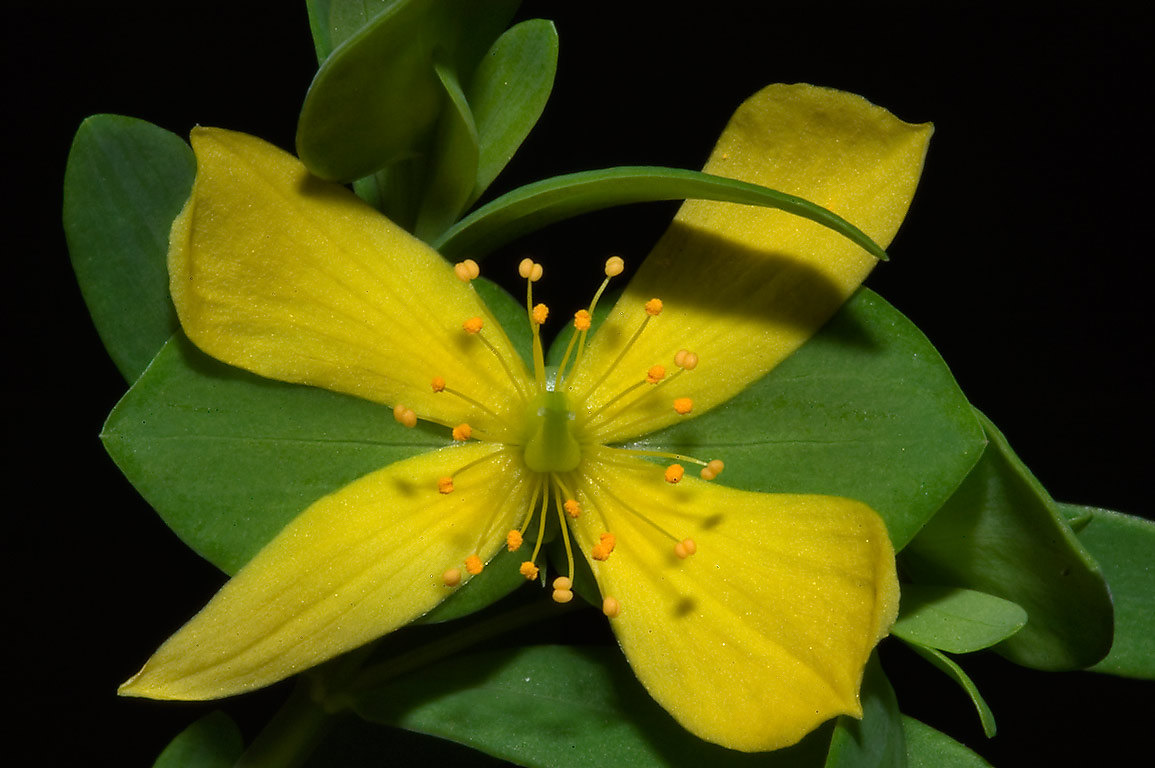 St. Andrew cross (Ascyrum hypericoides, Hypericum...National Forest. Richards, Texas