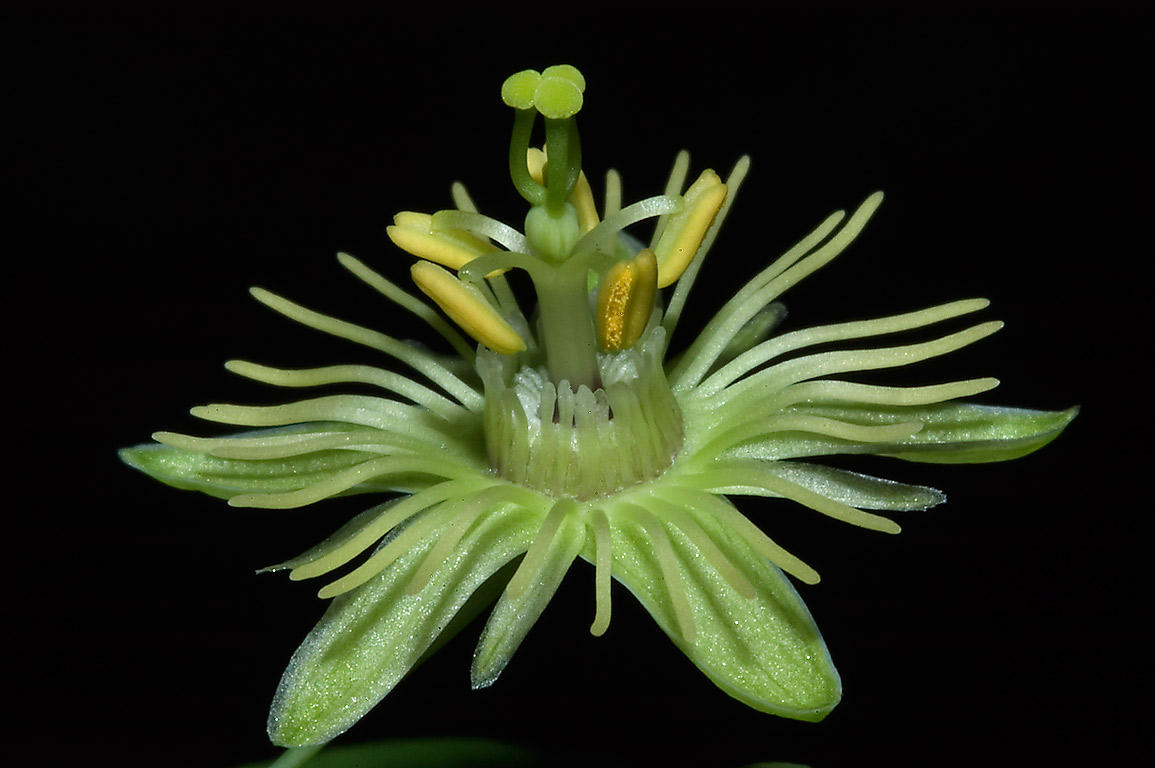 Yellow and green passion flower (Passiflora lutea...National Forest. Richards, Texas