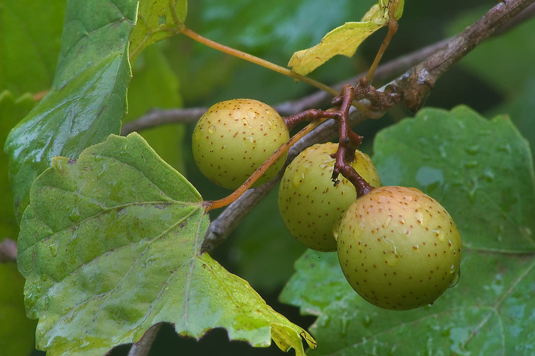 muscadine online dating Muscadine wine is made from muscadine and scuppernong grapes  they can be easily purchased online  dating & relationships small pets.