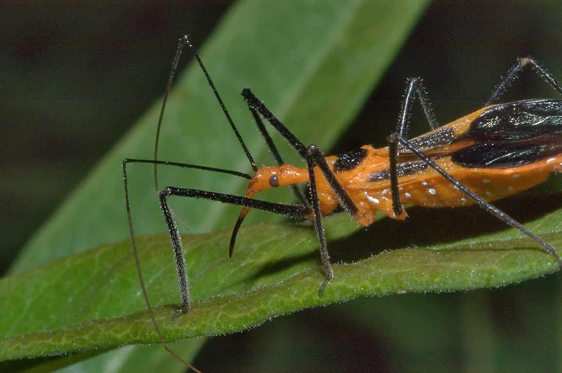 Young red milkweed assassin bug (Zelus longipes...M University. College Station, Texas