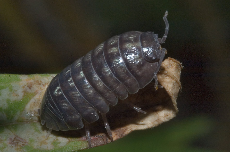 Pill bug on a leaf in TAMU Holistic Garden in...M University. College Station, Texas