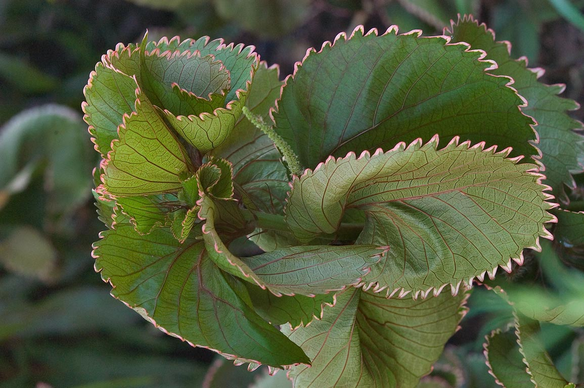 Copper plant (Acalypha wilkesiana) in TAMU...M University. College Station, Texas