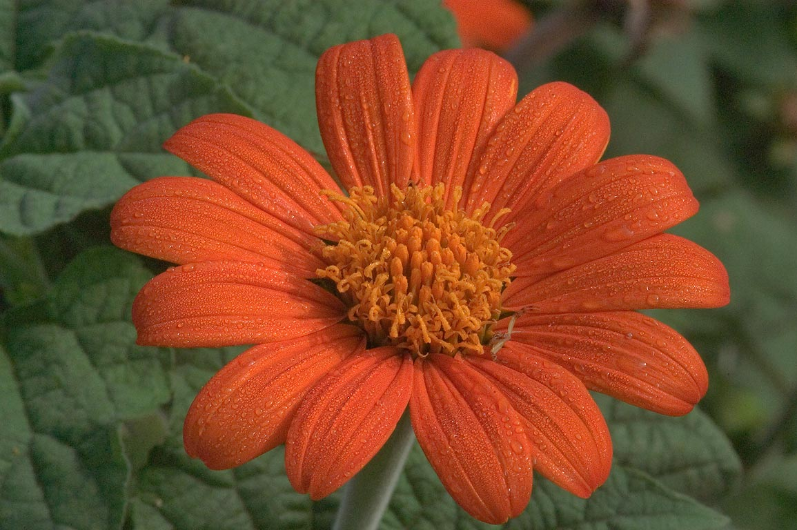 Mexican Sunflower (Tithonia rotundifolia) in TAMU...M University. College Station, Texas