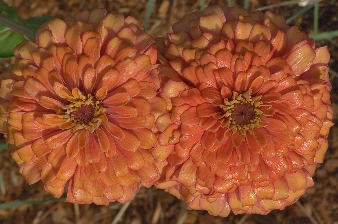 Orange zinnia flowers in TAMU Holistic Garden in...M University. College Station, Texas