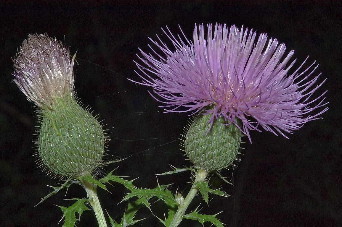 Blooming thistle (Cirsium engelmannii?) on Iron...Creek Park. College Station, Texas