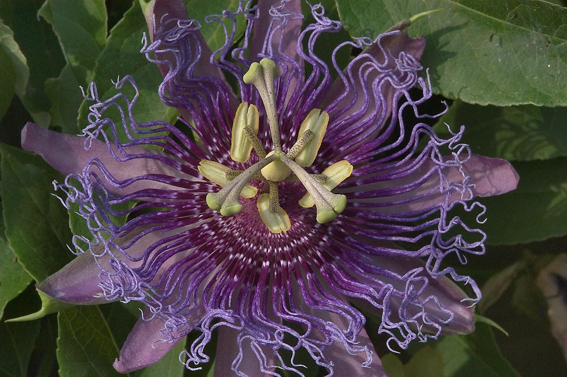 Purple passion flower in TAMU Holistic Garden in...M University. College Station, Texas