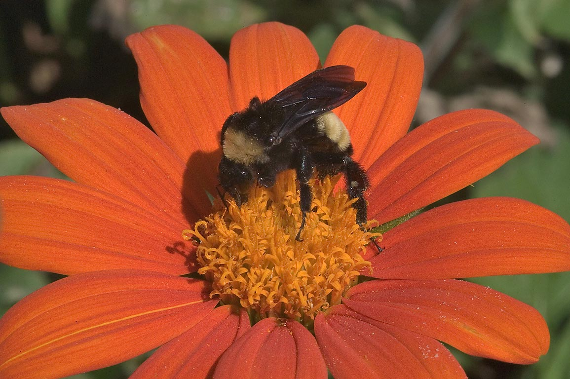 Bumblebee on Mexican Sunflower (Tithonia...M University. College Station, Texas