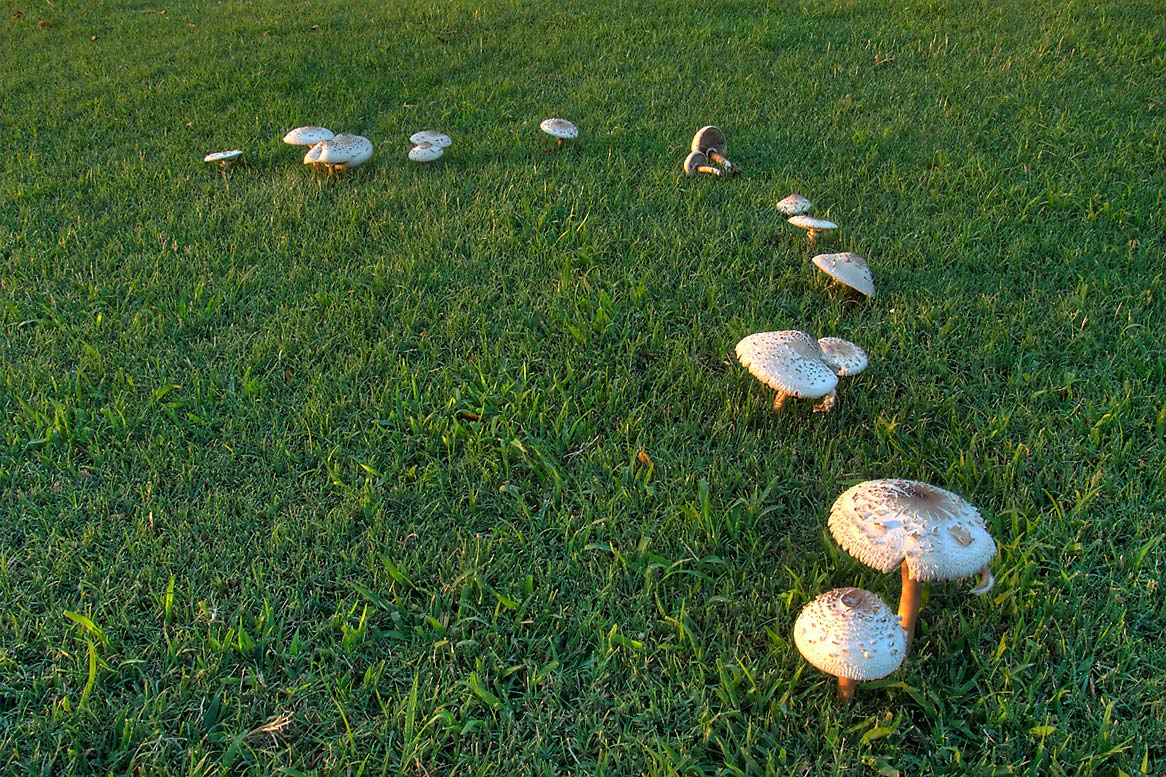 Arc of a fairy ring of toadstool mushrooms on a...M University. College Station, Texas
