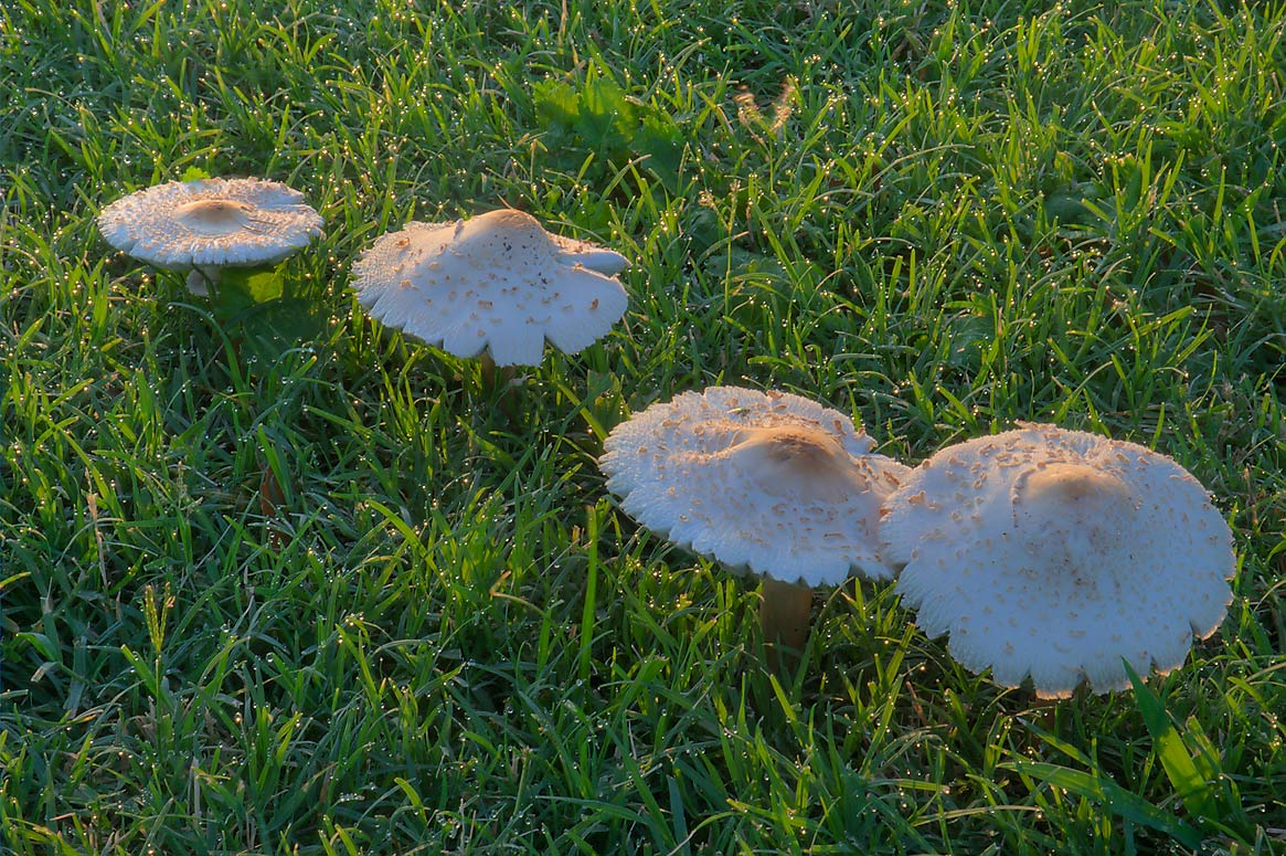 Green-gilled Lepiota (Chlorophyllum molybdites...M University. College Station, Texas