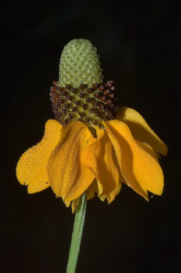 Yellow color variant of Mexican hat flower...State Historic Site. Washington, Texas
