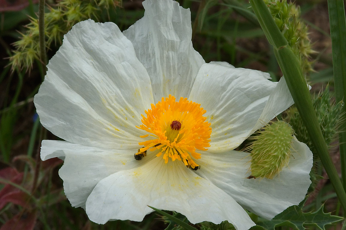 White prickly poppy in Washington-on-the-Brazos State Historic Site. Washington, Texas