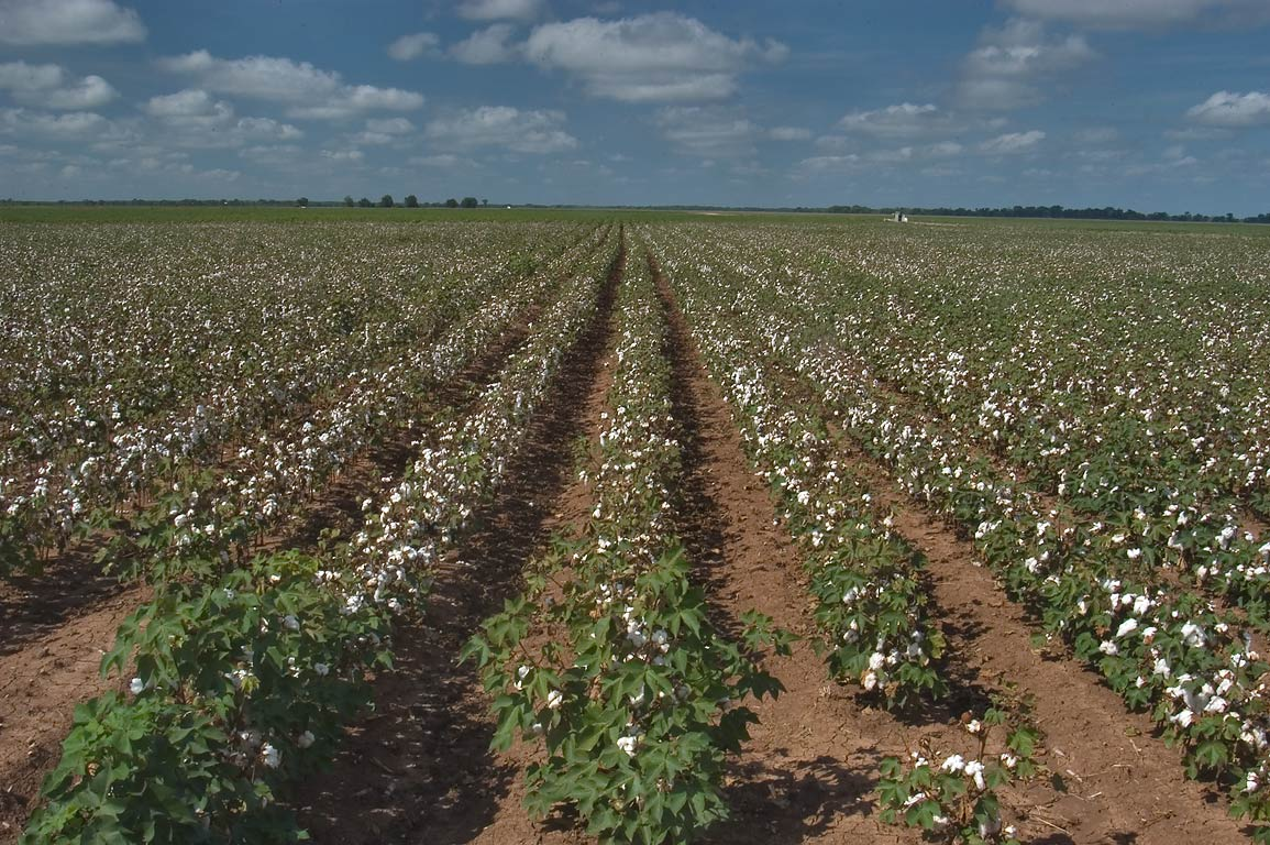 Cotton field from Rd. 50 near Batts Ferry Lane, 5 miles west from College Station. Texas