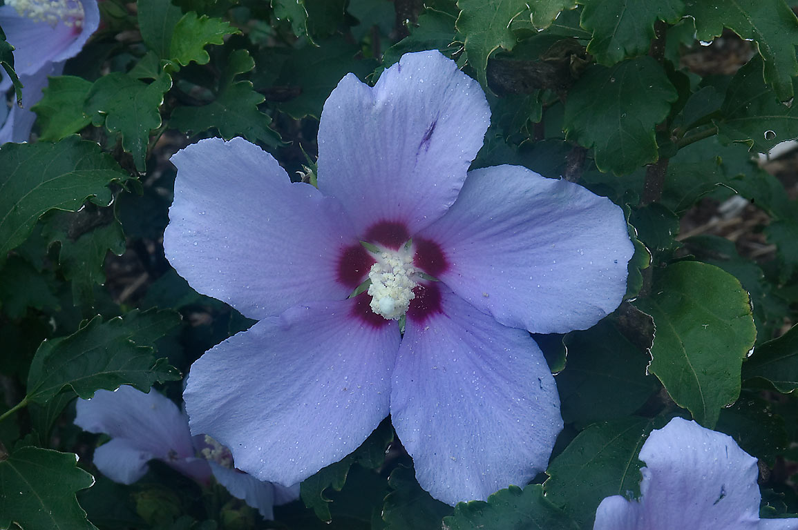 Blue hibiscus flower in TAMU Horticultural...M University. College Station, Texas