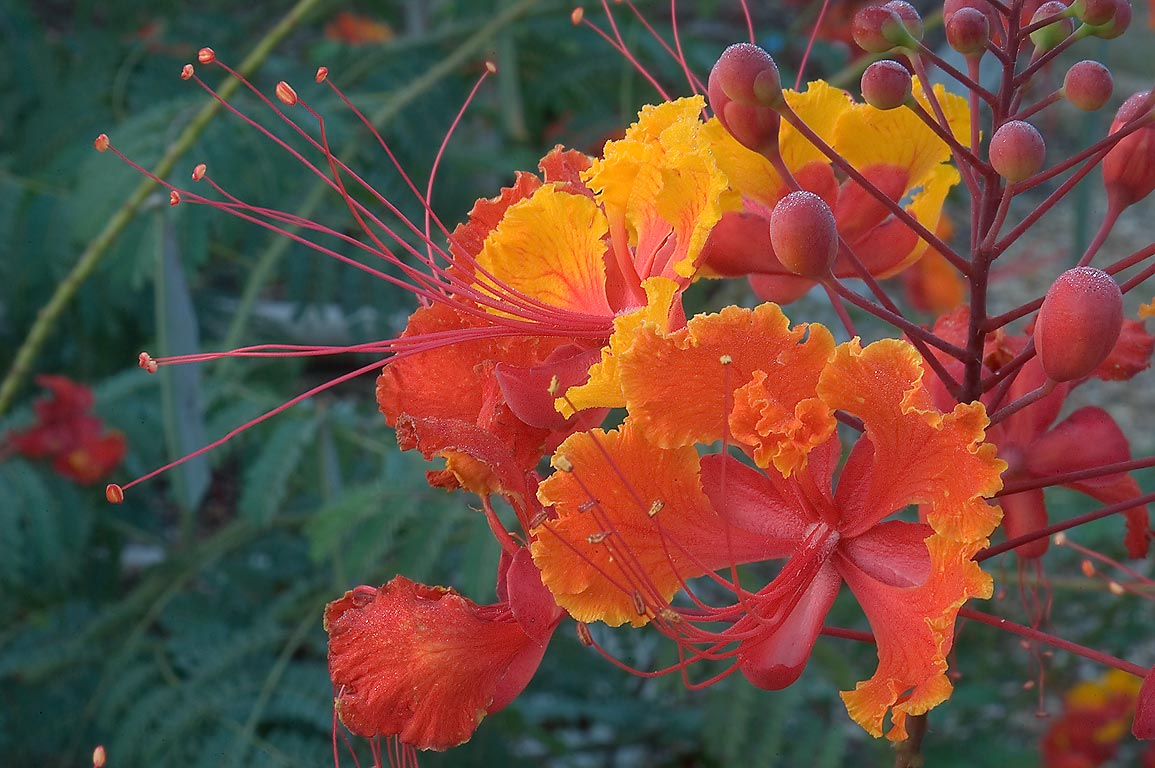 Caesalpinia pulcherrima (red bird of paradise) in...M University. College Station, Texas