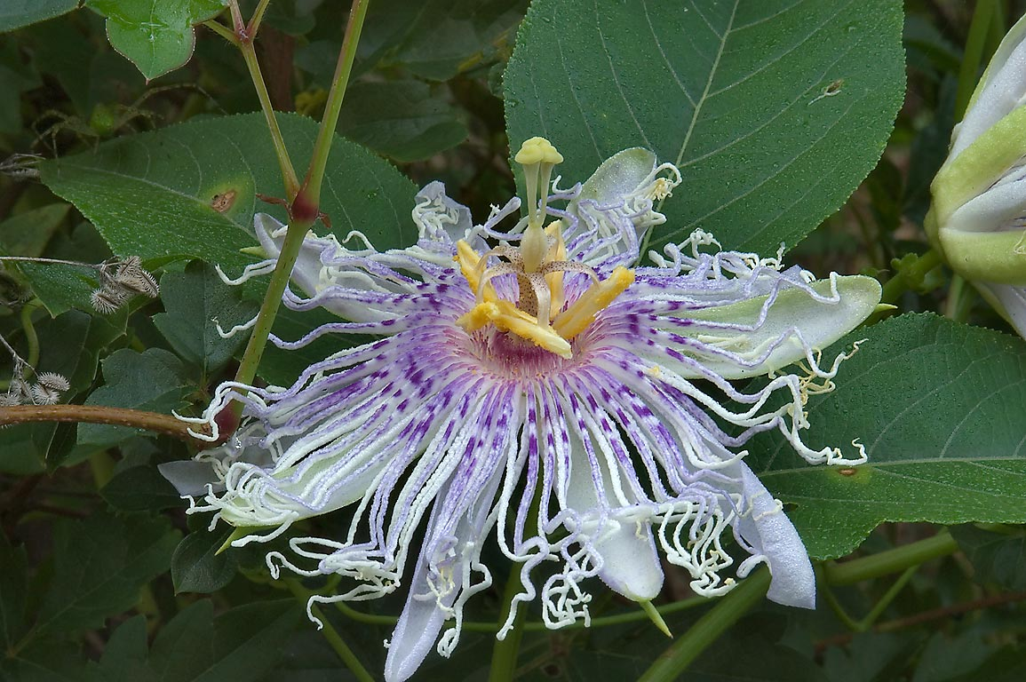 Passiflora (passion flower, maypop) on Deer Run...Creek Park. College Station, Texas