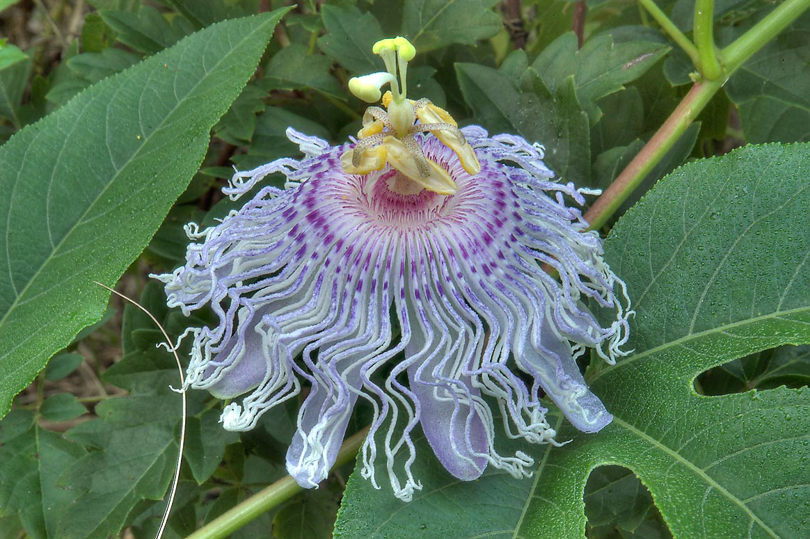 Passiflora foetida (passion flower, maypop) on...Creek Park. College Station, Texas