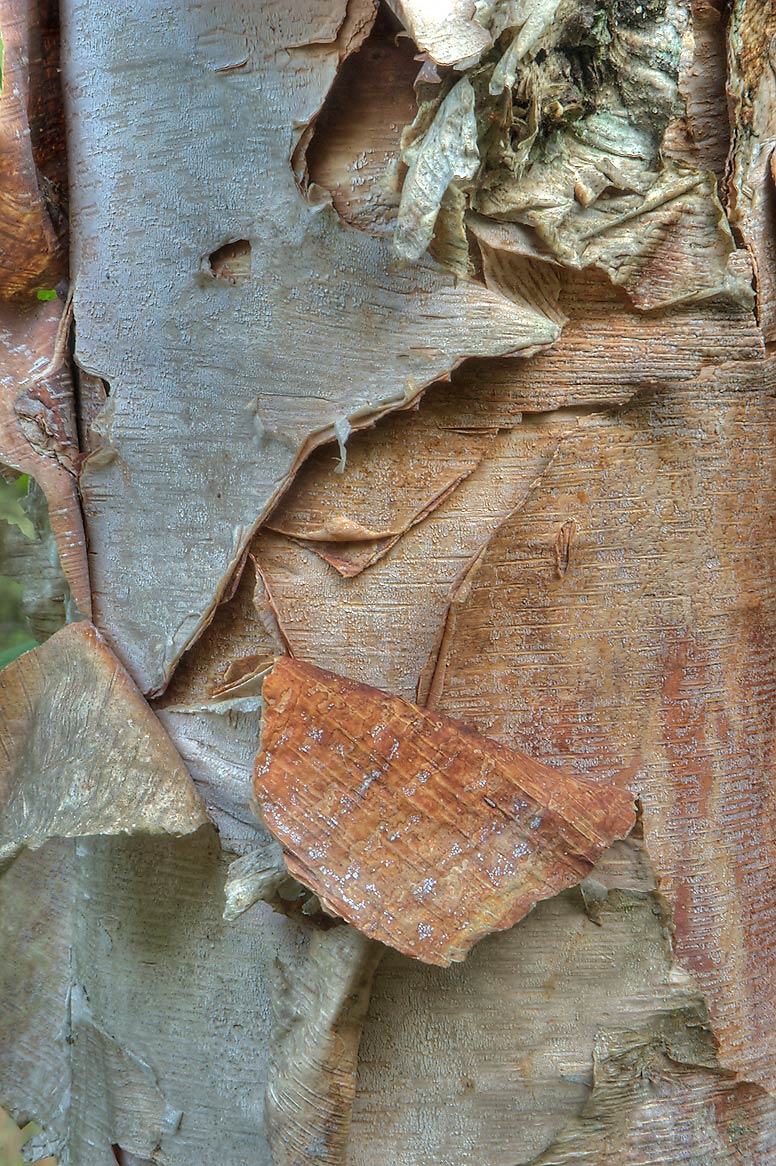 Exfoliating bark of river birch (Betula nigra) on...Creek Park. College Station, Texas