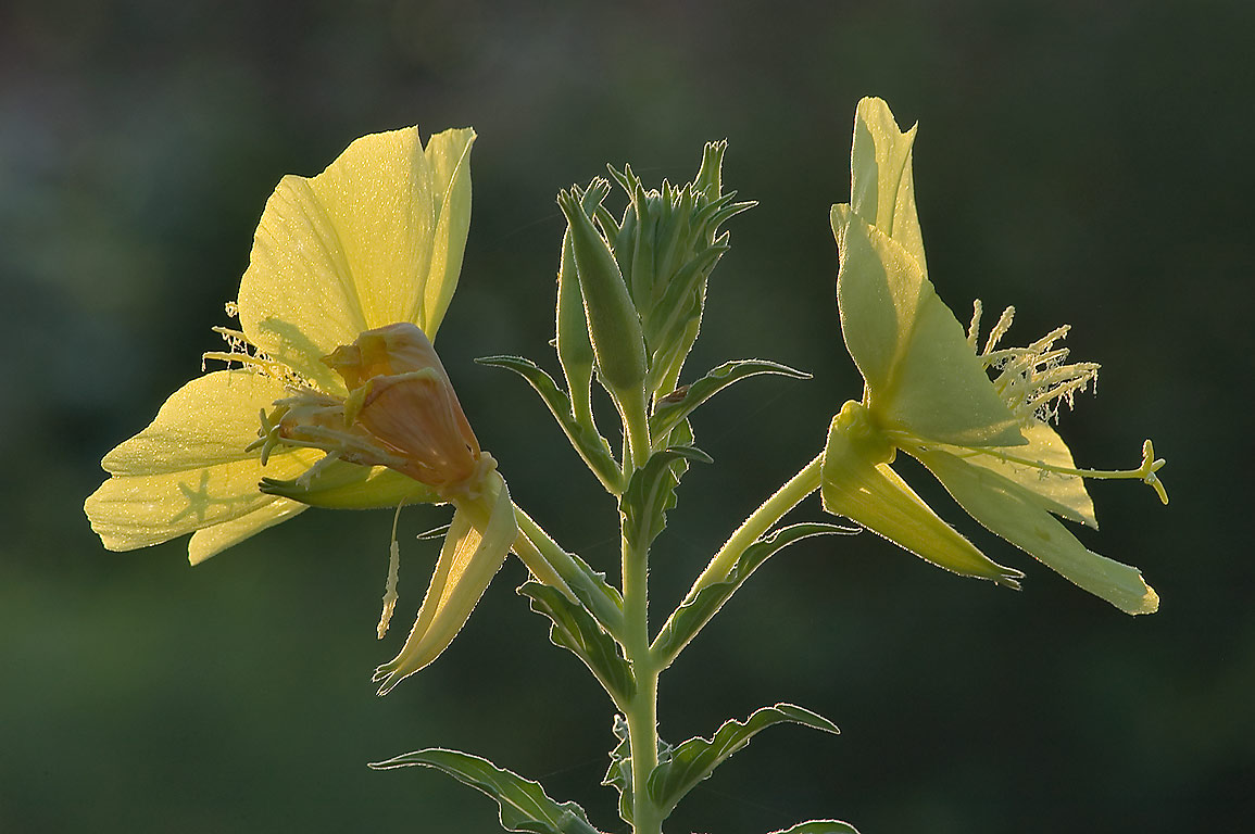 Back-lit evening primrose (Oenothera hookeri) at...M University. College Station, Texas