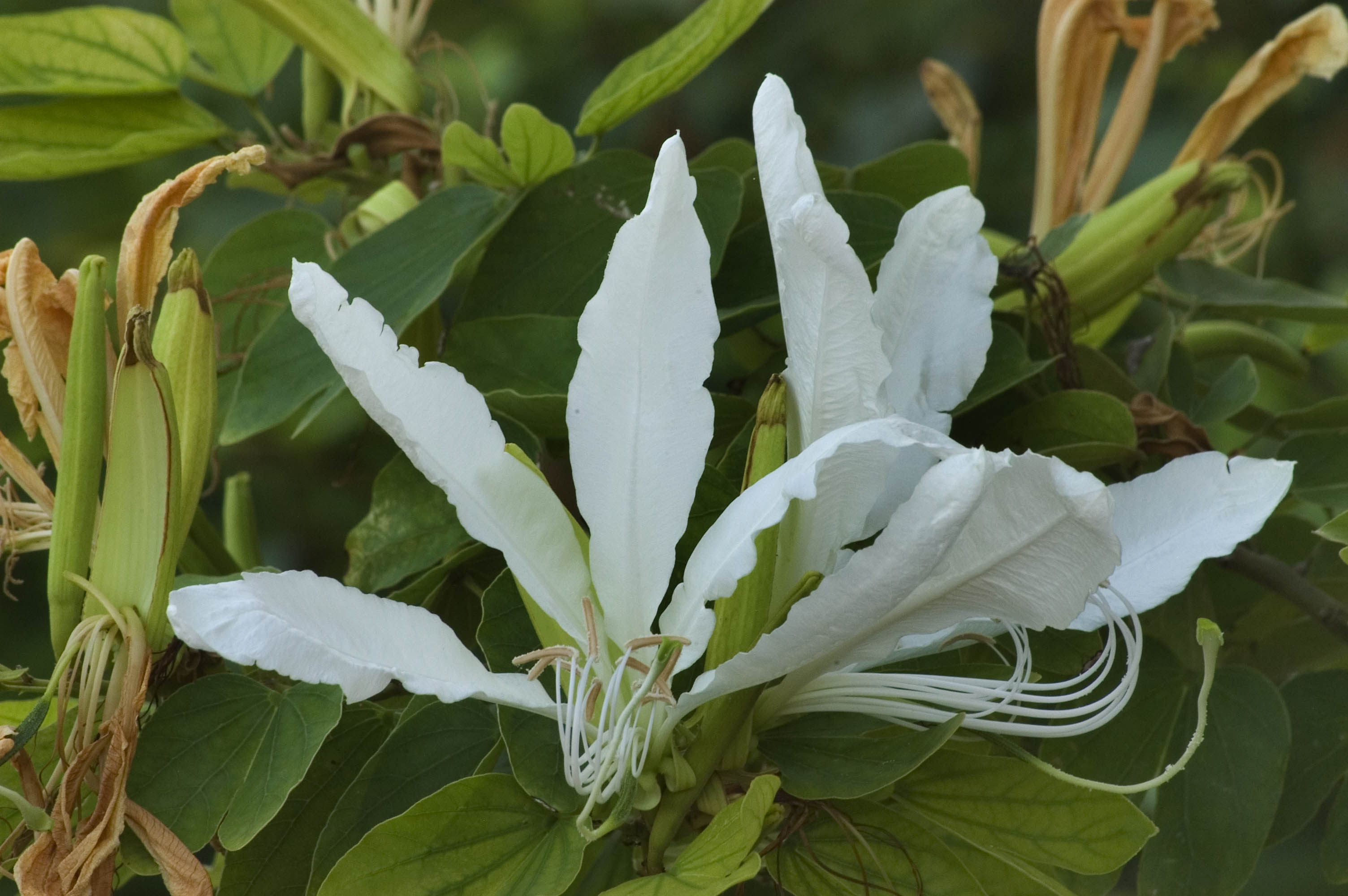 Photo 667 21 White Orchid Tree Bauhinia Forficata In